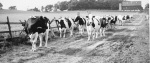 Spring-fed water has nourished thousands of animals on Wilhome Farms including these Holsteins in 1960.